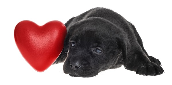A cute sad Black Labrador puppy lying down next to Red Heart waiting for their Valentine   5 weeks old